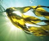 alge marine si ocean 21