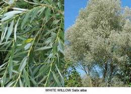 Aspirina vegetala - white willow